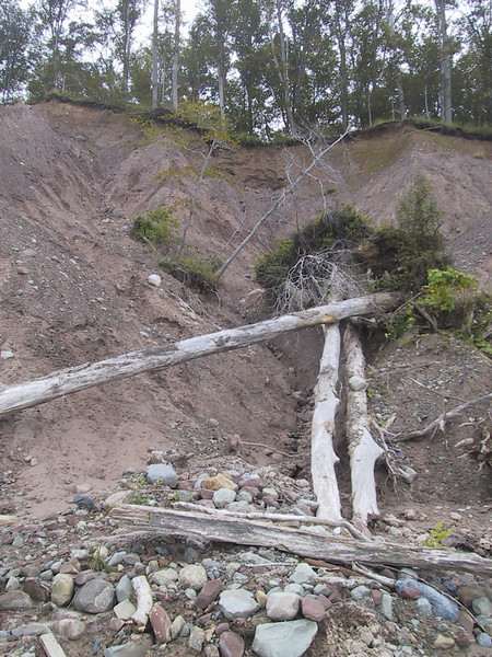 One of many trees fallen due to the eroding bluffs
