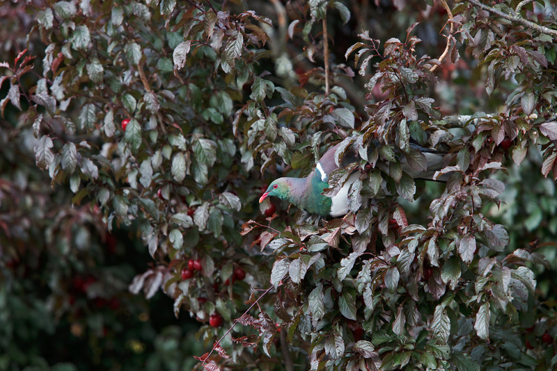 A greedy Kererū (New Zealand native wood pigeon) Sits in a plum tree eating plum after plum whole.