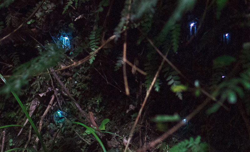 Glow worms on the Queen Charlotte Track.