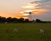 Cows & Setting Sun
