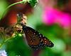 SABot Monarch 1