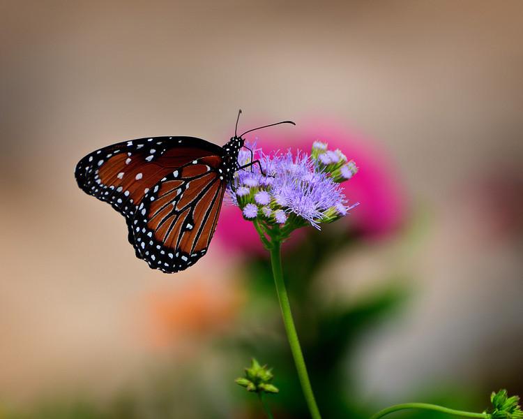 SABot Monarch 3