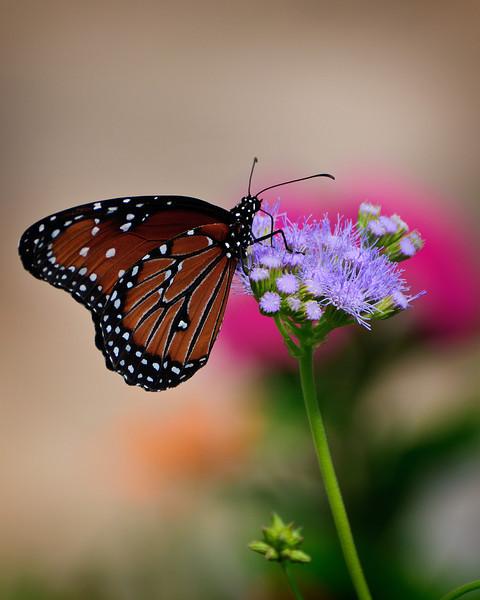 SABot Monarch 4