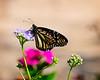 SABot Monarch 2