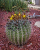 Barrel Cactus in Langtry