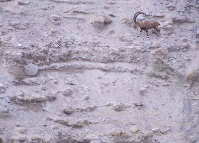 An Ibex (Capra Ibex Nubiana) walks a hillside at Ein Gedi Nature Reserve in Israel.