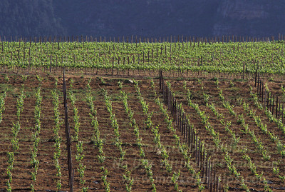 Simosig vineyard near Cape Town, South Africa