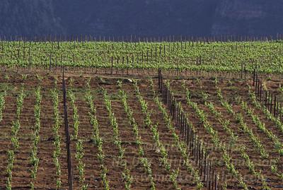 Simosig vineyard near Cape Town, South Africa