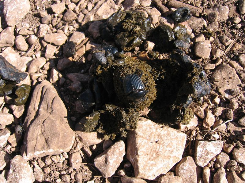 Dung beetle on the path down...I thought I had a shit job :D