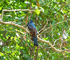 Blue Crowned Trogon (?)