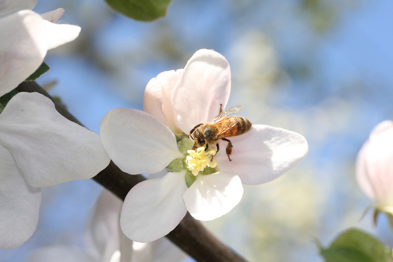 Apple blossom visitor