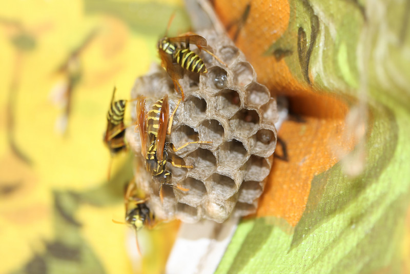 Wasp nursery