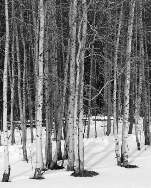 Aspen grove, Black Butte Ranch, OR