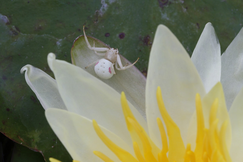 Water lily spider