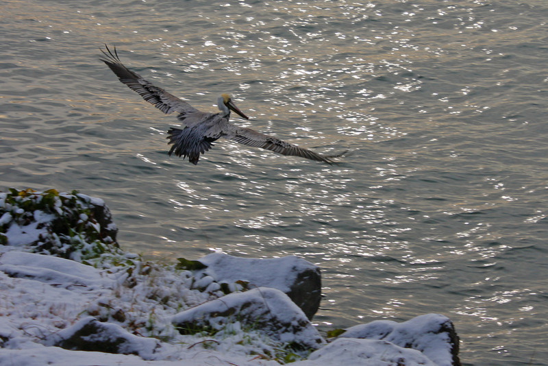 Pelican on a rare snowy day on Yaquina Bay at The Embarcadero, Newport, OR