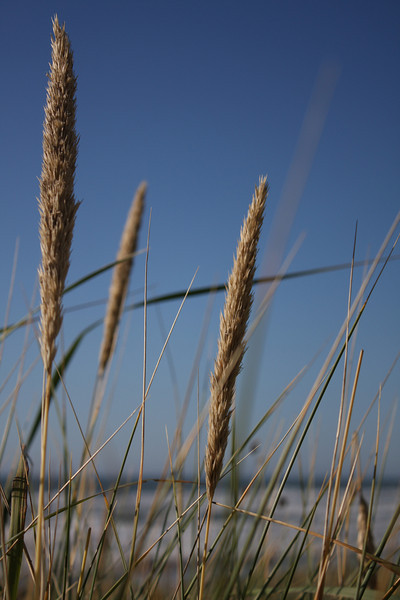 Neskowin Sea Grass