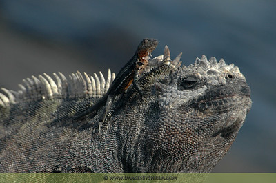 I call this, 'My Big Bro'... The Iguana and the Volcanic Lizard, Galapagos Islands