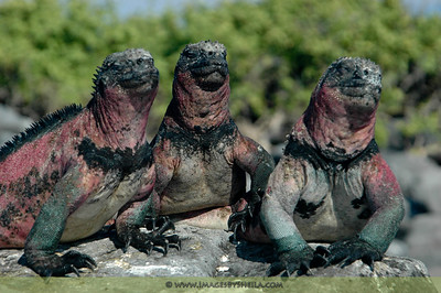 """Larry, Curly and Moe!"" (The 3 Stooges) - Galapagos Islands, Ecuador"