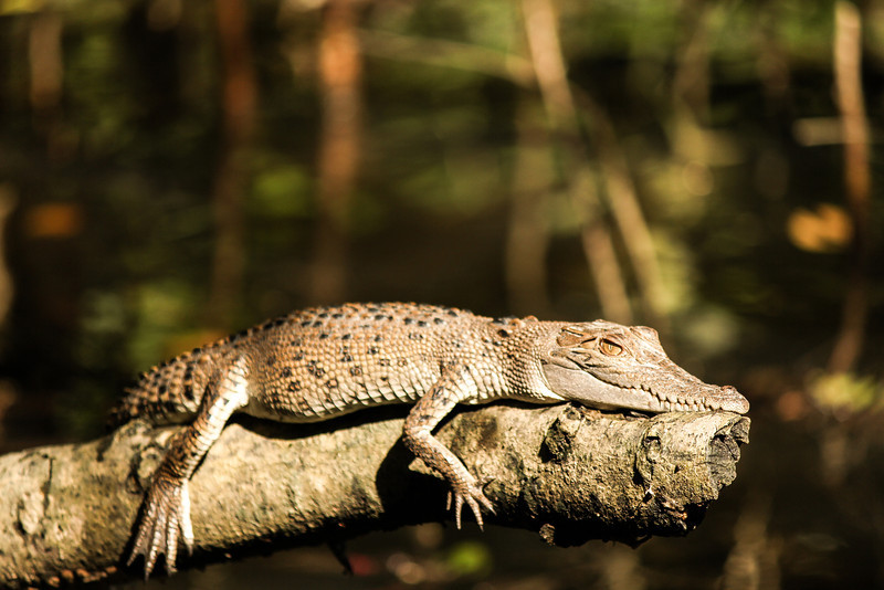 Baby Croc ~ 1 year old in the Daintree river