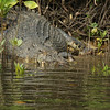 Scar-face (the name of the male croc) who dominates this part of the river.