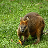 A Wallaby!!