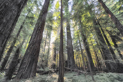 The Giant Redwoods of Redwood National Forest California.  Millions oft these giants stretch for miles and miles along the California Coastal Region