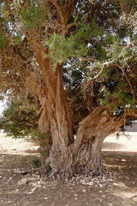 an old argan tree: plenty of vit. E.