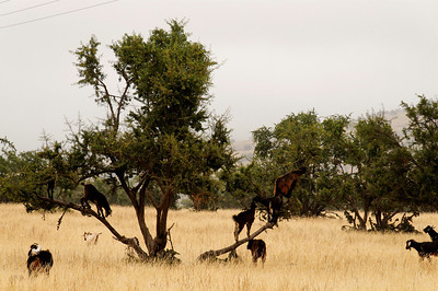 climbing goats in an argan tree