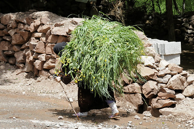 more than 50 kg of grass for the cows, every day
