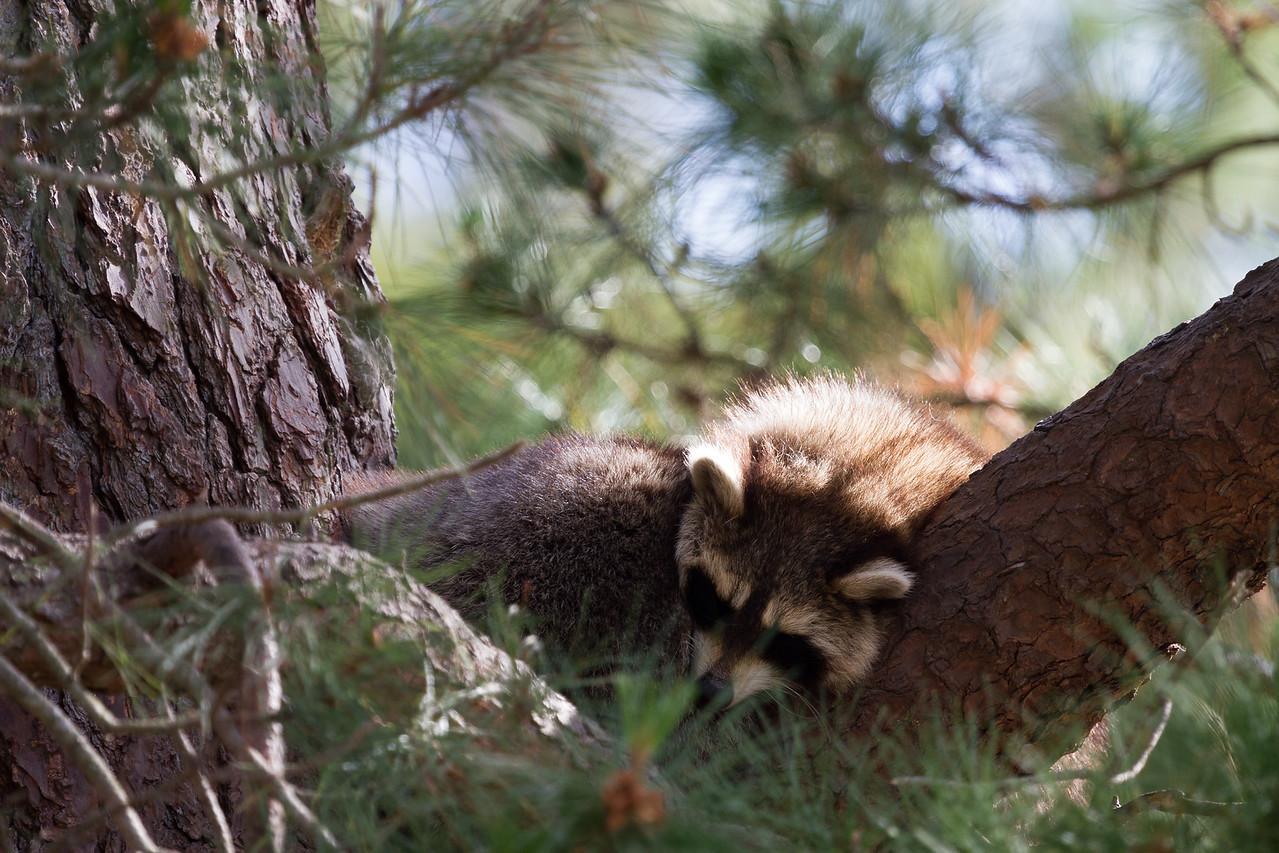 Raccoon in a zoo