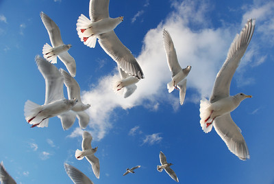 Seagulls are such fast-food fanatics! All this for a hand-full of french fries