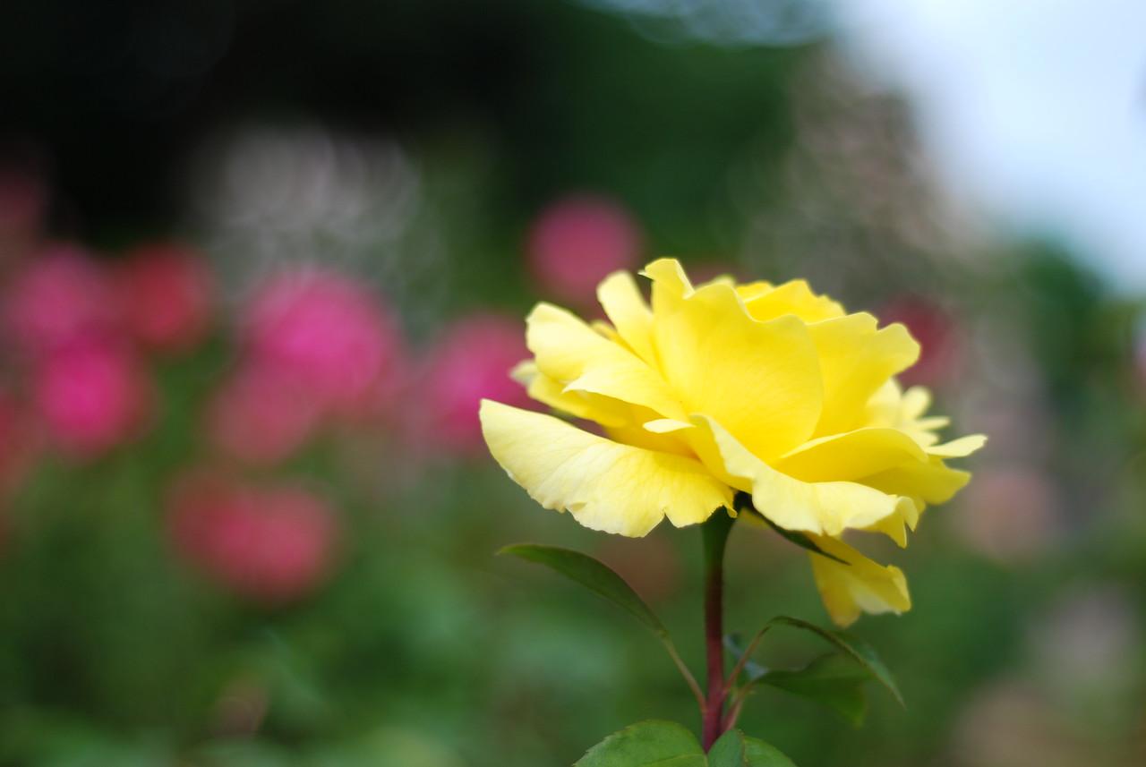 Rose Garden, Oregon.