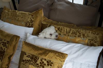 Daisy in the pillows. Aspley Guise