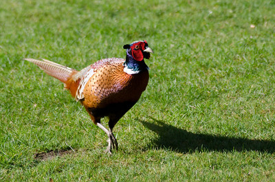 Pheasant in the backyard at Aspley Guise