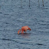 Video - Flamingo in Bonaire
