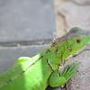 Iguana (juvenile)