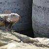 Iguana (adult)