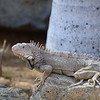Iguana (adult) - Some grow to 7' high!!
