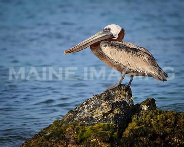 Brown Pelican 2.  Aruba.
