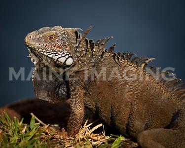 An Iguana sits on the rocks in Oranjestad, Aruba.