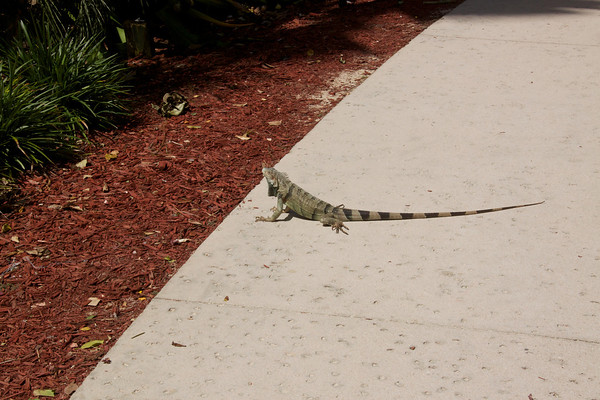 There were iguanas everywhere and Luca loved chasing them.
