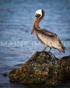 Brown Pelican.  Aruba.