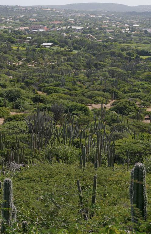 Cactus from Hooiberg