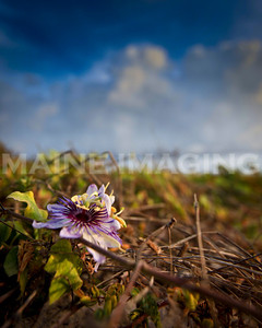 A purple and white flower clings to it's vine in the sand dunes of the eastern end of Aruba.