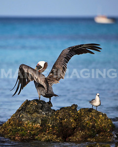 A pelican stretches his wings on a rock in Aruba.