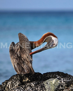 A Brown Pelican preens himself while sitting on a rock.