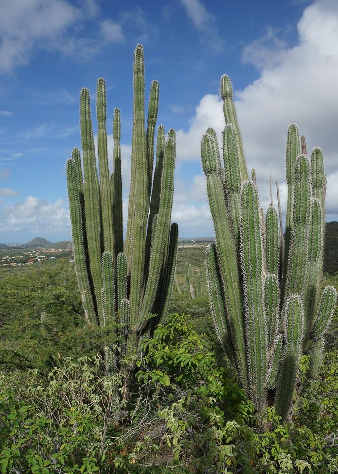 Cacti, Arikok National Park, Aruba