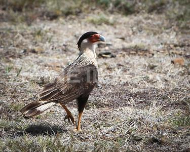 The Wara Wara bird.  Aruba.