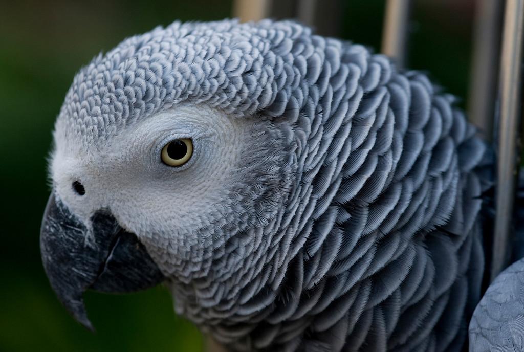 African gray parrot, Hyatt Aruba