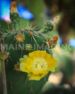 Cactus Flower.  Aruba.